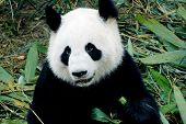 picture of endangered species  - cute giant panda in the zoo of chengdu - JPG
