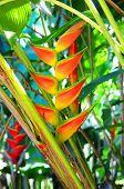 Tropical heliconia flower in botanical garden in Queensland Australia