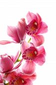 Dark Pink Orchid
