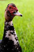 Cabeça e pescoço de ganso curioso Semi-profile