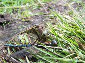 Drangonfly
