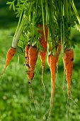 Large Bunch Of Fresh Organic Carrots