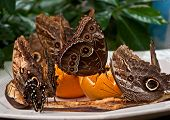 Exotic Owl Butterflies Feeding On Fruit