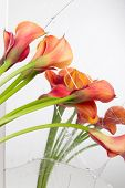 Orange Calla lilies(Zantedeschia) seen in broken mirror