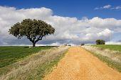 Track And Oak Tree