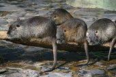 Photo of to water dwelling nutrias