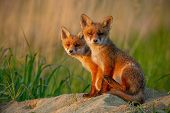 Red Fox Cubs At Sunset Curiously Looking In Camera. poster