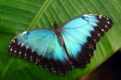picture of blue butterfly  - Vibrant blue butterfly  - JPG