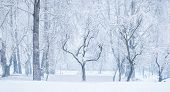 Panoramic View Of Bare Leafless Tree With An Interesting Shape In A Snow Winter Woodland Landscape.  poster