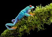 Red-eyed Tree Frog On Mossy Branch
