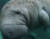stock photo of sea cow  - Close up photo of West Indian Manatee Underwater - JPG
