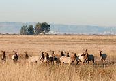 Herd of Tule Elk (Wapiti) on Grizzly Island preserve in Northern California