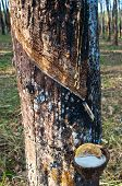 Raw rubber on the rubber tree