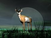 Pronghorn Antelope And Moonlight