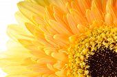 Yellow Daisy-gerbera