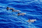 Altantic Spotted Dolphin Pod