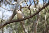 picture of kookaburra  - Australian Native Laughing Kookaburra in the Hunter Valley  - JPG