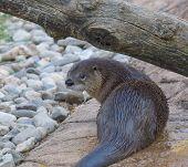 River Otter 127