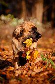 leonberger dog holding fallen leaves
