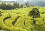 foto of bong  - Terrace of rice field in Bong Peang Village Thailand - JPG
