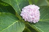 Sweet Pink And Beatiful Hydrangea Flower In Garden