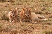Young male lion and lioness in Masai Mara National Park - Kenya