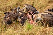 Vultures feeding on a carcass