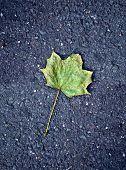 Maple Leaf On Tarmac Road