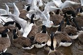 Flock Of Canada Geese And Common Gull