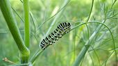 caterpillar of the butterfly machaon on the branch