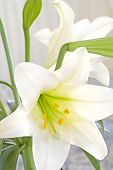 Easter Lily (macro)
