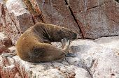 South American Sea Lion Scratching On A Rock