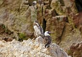 stock photo of boobies  - Young Humboldt Penguin and a Peruvian Booby on the Ballestas Islands - JPG