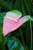 Pastel Pink Anthurium Lily