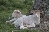 Kent Lambs