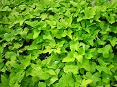 Plantas de batata-doce - folhas