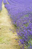 picture of differential  - Lavender field landscape with differential focus technique giving shallow depth of field