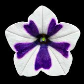 White And Purple Stripes On Morning Glory Flower Isolated
