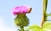 Wild Thistle With Pink Flower And Bee On Blue Background