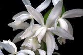 Cattleya, Orchid