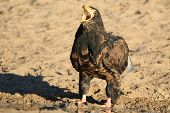 Bateleur Eagle - Wild Bird Background from Africa - Call of the wild and nature