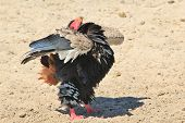 Bateleur Eagle - Threat Display and Background Beauty from wild Africa