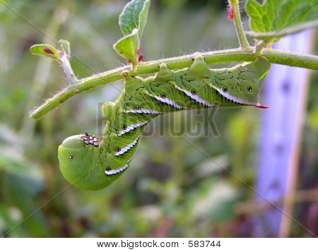 Picture or Photo of Green caterpillar with white stripes hanging upsidedown from plant stem
