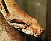 foto of snake-head  - boa snake head - close up photo