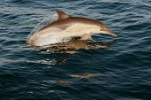 stock photo of dolphins  - The jumping dolphins comes up from water - JPG