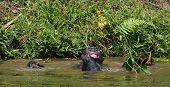 Bathing  Bonobo