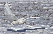 stock photo of hedwig  - Low flying snowy owl with a shadow - JPG
