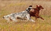 image of english setter  - Two dogs runs on a green grass - JPG