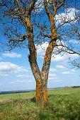Old Tree Walnut In Springtime