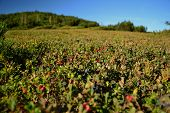 Blueberries And Cowberry Growing In The Mountains